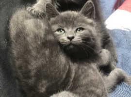 Nebelung x male kittens