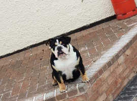 English bulldog female looking for a forever home