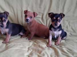 Jack Russell Girl and Boys