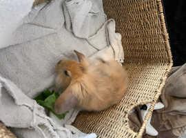 Lion head x mini lop rabbits