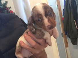 Last Miniature  chocolate  pied dapple dachshund