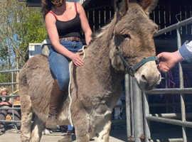 Irish jack donkey