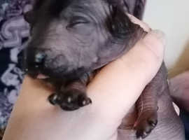 Puppies to reserve