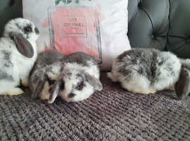 Mini lop grey and white butterfly