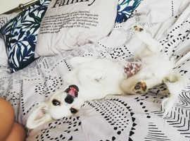 4 Cavapoo Cross Puppies for sale!