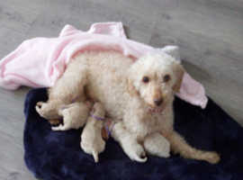 Lady has just a litter of 5 beautiful champagne toy poodle puppys born on the 3-5-20 She is wonderful around children and other dogs, I am looking for