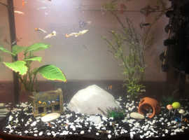 Female and Male Guppies for sale