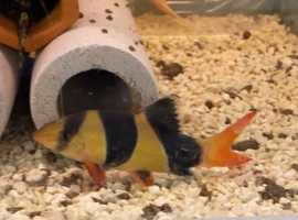 3 clown loach about 4 inch