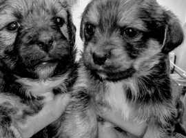 Yorkiepom puppies
