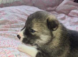Last male husky puppy