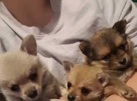 Litter of family raised pomchi pups. Fantastic healthy pups.