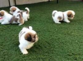 Bichon Frise x Lhaso Apso puppies for sale