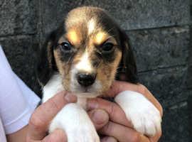 Unusual Beagle Puppies