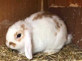Beautiful Female Lop Bunny (Doe) - 10 weeks old