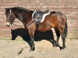 Open to offers for quick sale. Princess Lizzy a pretty 2 year old 13hh pony