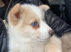 Female pomsky pup for sale