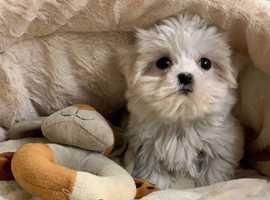 Vet checked litter of Maltese pups available