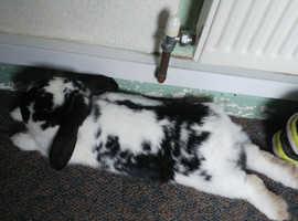 Black-and-white rabbit