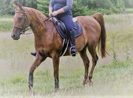15.1hh Arab Mare for loan from current yard