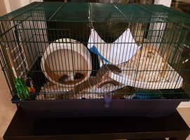 Lovely black and white male Syrian hamster with extra large cage