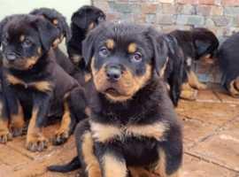 Stunning pure bred rottweiler pups