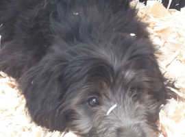 Colliepoo Puppies - Hypoallergenic