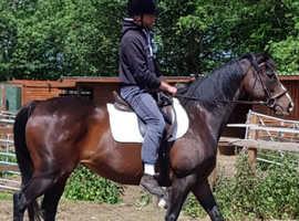 Registered TB mare