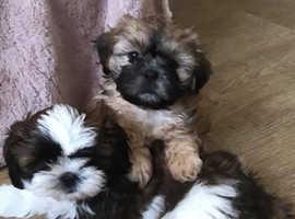 Shihzhu puppy's