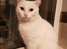 Beautiful White Female Cat