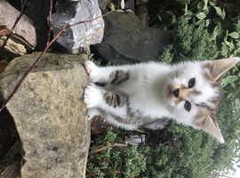 Lovely little white tabby kitten for loving home he is 8 weeks old