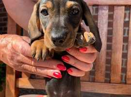 Dark shaded red, miniature dachshund.