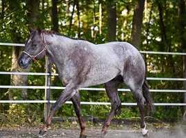 Standin at stud - Quarter Horses