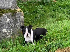 1 stunning Boston terrier boy pup left