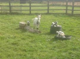 Pygmy Nanny Goat and Kid