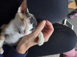Female calico peterbold / Donskoy kitten