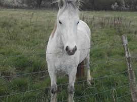 Stunning mare, 3 yrs 11 months. UNBROKEN.  12hh. Urgent Sale