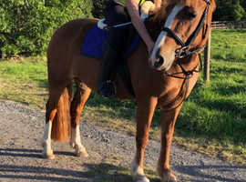 14.2hh Welsh D Safe and Steady Fun Mare