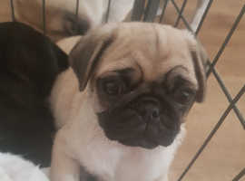***female pug puppies for sale***