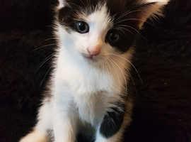 One Female Cross Persian Kitten