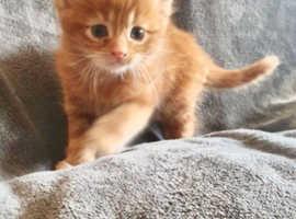 Last kitten available