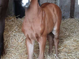 Beautiful bay dressage colt foal