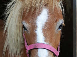 6yr old skewbald miniature Shetland mare
