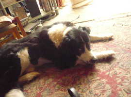 wanted collie o xcross collie much between 10mths to1 yr male or female  100 or less for pet only