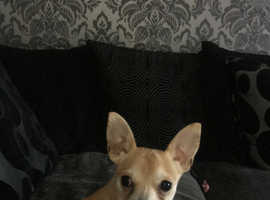 Male chihuahua 8 months old