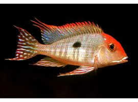 Geophagus redhead tapajos young group x 5