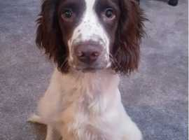 English Springer spaniel dog 25 weeks old full pedigree
