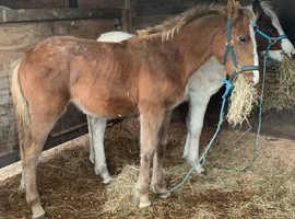 6 months old colt