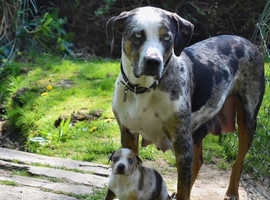 *RARE* Louisiana Catahoula leopard dog puppies available