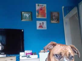 9 month old boxer cross bullmastiff male pup