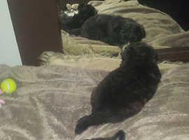 jackchi puppies